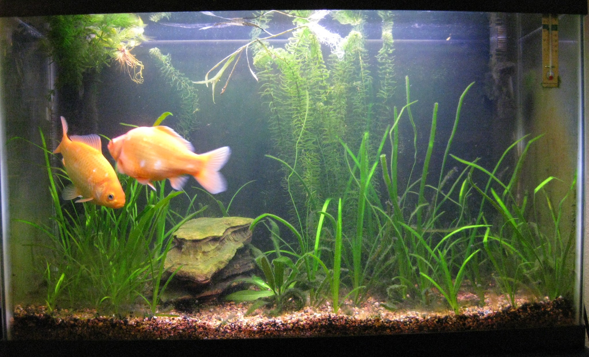 Fish in tank with goldfish - To Know In Details About Fish Tank Requirements For Goldfish Click Here For The Continuation Blog Goldfish1