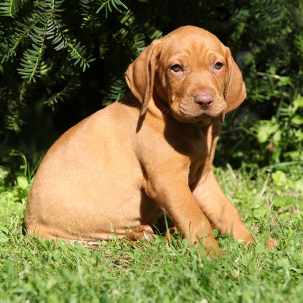Vizsla - family dog